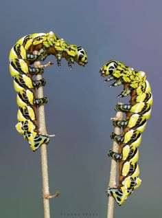 Hello, it's me :-) - Two caterpillars of Brahmaea walllichii, an asian moth, both in the 5th instar.