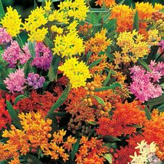 Gay Butterflies Butterfly Plant - Asclepias Tuberosa