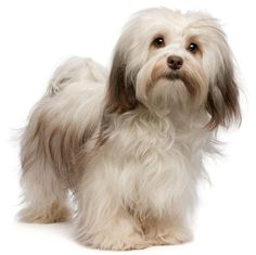 Havanese:   The Havanese has earned his place on the list of favorite family pets for a wealth of reasons.
