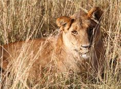 Lioness in the Masai Mara Kenya  http://philipselwood.com/travel-photos/