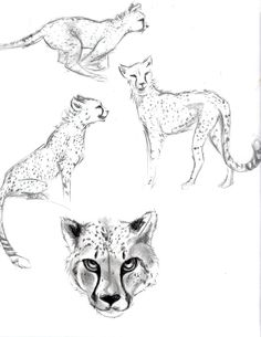 Cheetahs Sketch- Livian Green
