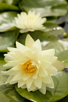 Nymphaea 'Lemon Chiffon' (Waterlily)