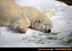Este oso polar también odia los lunes.