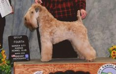a side view of a wheaten terrier  Looks like my champion Meara!