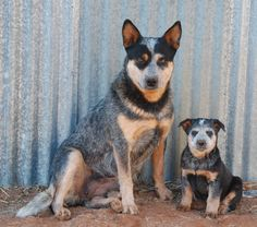 Australian Cattle Dogs <3