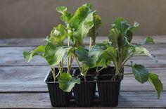 Časná sadba květáku umožní brzkou sklizeň Plants, Flora, Plant, Planting