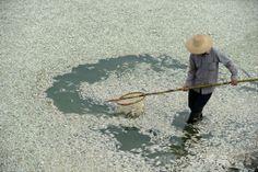 中国・湖北(Hubei)省武漢(Wuhan)を流れるFuhe川で、魚の死骸を回収する住民(2013年9月3日撮影)。(c)AFP ▼23Apr2014AFP|中国の地下水、60%が「直接飲用できない」ほど汚染 http://www.afpbb.com/articles/-/3013403 #Fuhe #Wuhan