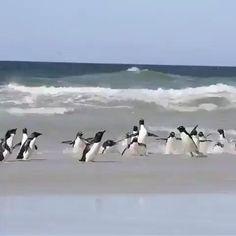 Weekend mood anyone? Cute Creatures, Beautiful Creatures, Animals Beautiful, Cute Little Animals, Cute Funny Animals, Cute Animal Videos, Funny Penguin Videos, Cute Penguins, Cute Baby Penguin