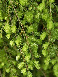 This Canadian Hemlock thrives in the shade! More conifer ideas: http://www.bhg.com/gardening/trees-shrubs-vines/trees/the-best-conifers-for-your-yard/?socsrc=bhgpin090713canadianhemlock=17