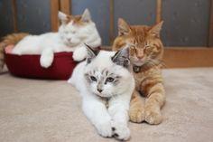 CyBeRGaTa - Cats, Memes, New Mexico - Happy Kittehs, Shironeko,Kuro and Ginger Kitteh.