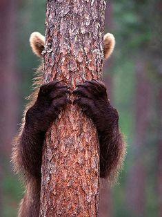 Bär klettert an einem Baum. Es sind nur Ohren und Pfoten zu sehen.