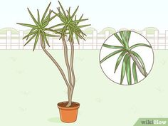 How to Care for a Madagascar Dragon Tree. The Madagascar dragon tree, or Dracaena marginata, is a reliable and low-maintenance indoor plant. If you live in a warm area with extremely mild winters, you can also keep this colorful tree. Dragon Tree Care, Dragon Tree Plant, Dracena Marginata, Trees To Plant, Plant Leaves, Madagascar Dragon Tree, Low Maintenance Indoor Plants, Outdoor Crafts, Backyard Farming