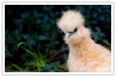 Silkie Backyard Chickens @Denise Barr