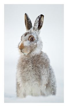 the_snow_hare by Jules Cox Photography, via Flickr