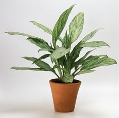Since this plant is one of the most durable indoor plants (it does quite well in low light) and only needs to be fertilized once or twice a year, it's ideal for beginner gardeners.   - HouseBeautiful.com