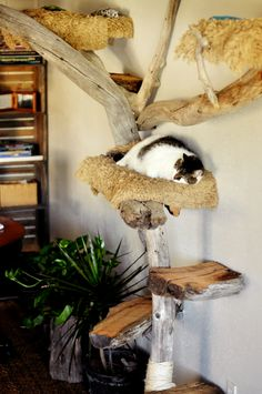 Driftwood cat tree detail, with Emily demonstrating how to power cat nap… Bb Chat, Cat Hotel, Diy Cat Tree, Cat Hacks, Cat Towers, Cat Shelves, Cat Playground, Pet Furniture, Furniture Design