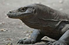 Komodo ,  you can only  find it in Flores, Indonesia