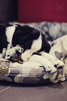 Dreaming with Calogero - Border Collie puppy