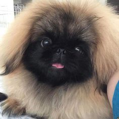 If you want a great place to buy dog accessories for your Pekingese like dog beds, dog bowls, kennels, collars, harnesses and even dog clothing and dog food then just visit the site. Yorkies, Pekingese Puppies, Pomeranians, Cute Puppies, Cute Dogs, Dogs And Puppies, Fu Dog, Dog Hacks, Old Dogs