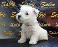 ¡¡Cachorros a la Venta!!  www.sabrekennel.com  info@sabrekennel.com