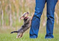 Training a dog to behave when guests visit | Cesar's Way