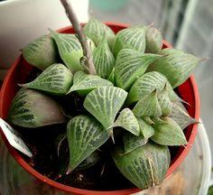 Haworthia emelyae