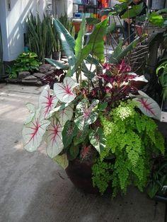 Container garden showing coleus, maidenhair fern, caladium, & alocasia (shade) #containergardeningideas