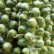 Growing Brussels Sprouts from Seeds - How to Grow Brussels Sprouts - West Coast Seeds