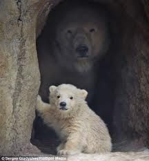 Polar Bears Hiding in a Cave. All polar bears live in the north. They live in Alaska, Canada, Russia, Norway and Greenland. They are strong hunters. Their favorite food is seal. Find out more here: http://easyscienceforkids.com/all-about-polar-bears/