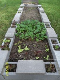 My Cinder block Garden, Turnips and Lettuce, with Carrots