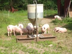 Our little piglets outside enjoying the sun Piglets, Enjoying The Sun, The Outsiders, Baby Pigs, Little Pigs, Baby Pig
