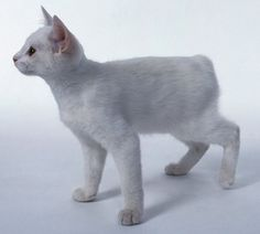 Manx Cats And Kittens
