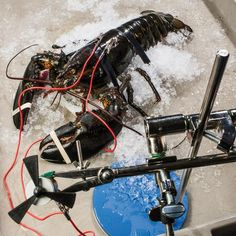 This lobster electricity generator makes us think of the Flintstones.