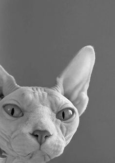 Someone from Alberta is cheating cat lovers by selling them shaved kittens. These shaved kittens were sold in the market as the hairless Sphynx cats. I Love Cats, Cute Cats, Funny Cats, Gato Sphinx, Crazy Cat Lady, Crazy Cats, Gato Animal, Airedale Terrier, Baby Dogs