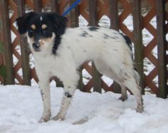 Isbella is an adoptable Spaniel Dog in Chester Springs, PA. Isabella is a 6 month old 17 pound spaniel mix. She is sweet, friendly and loves to play. She would make a great addition to any family.
