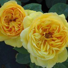 """Rosa """"Souvenir de Marcel Proust"""""""