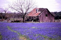 Bluebonnets and Barn.  I cannot get enough of old barns!
