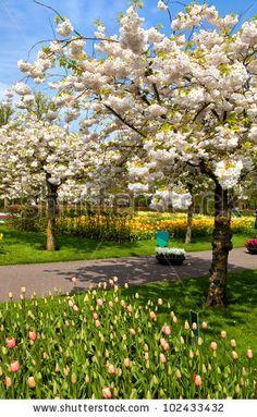 Flowering Of Trees And Flowers In Dutch Spring Garden Keukenhof ...
