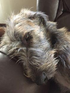 Scottish Deerhound, Irish Wolfhounds, Beautiful Dog Pictures, Beautiful Dogs, Big Dogs, Cute Dogs, Bedlington Whippet, Psy, Irish Terrier