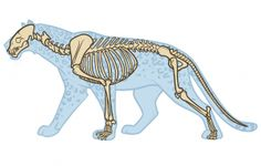 leopard anatomy drawing step 1