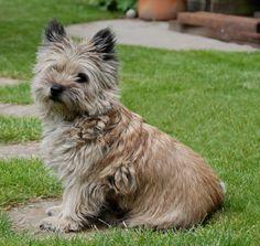 Sandy.  Cairn Terrier.