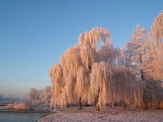 Bomen in de Hoeksche Waard - Treurwilgen - Strandje Mijnsheerenland