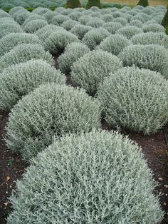 Grey santolina, or cotton lavender, is a wonderful plant for your flower beds. Its naturally dome shaped, and takes readily to shearing, if you would prefer a perfect sphere or a pyramid or what have you. It blooms with small yellow flowers that should be Gravel Garden, Garden Shrubs, Garden Plants, Garden Landscaping, Dry Garden, Coastal Gardens, White Gardens, Town And Country Gardens, Silver Plant