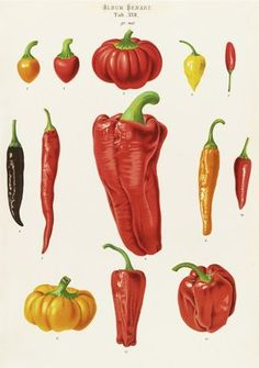 Capsicums, or Chilli Peppers botanical print by Ernst Benary
