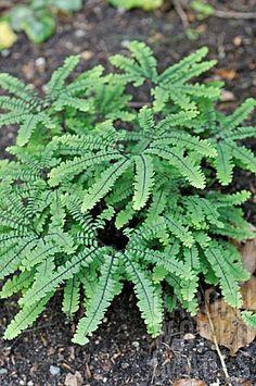 Maidenhair fern - Adiantum pedatum added to garden this year 2014 Shade Garden, Garden Plants, House Plants, Shade Perennials, Shade Plants, Tropical Garden, Tropical Plants, Maidenhair Fern, Fern Plant