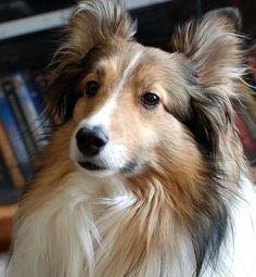 beautiful sheltie, shetland sheepdog One of our dogs, Kipper.