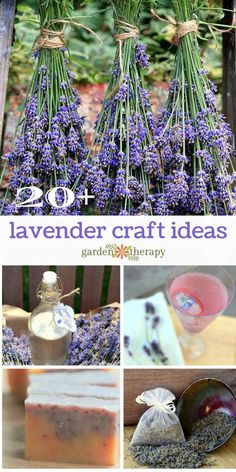 Harvesting lavender is a great way to tidy up unruly plants and will give you a whole bunch of inspiration for projects throughout the year. There is a proper way and ideal time to harvest lavender that is best for both the dried flowers and the plants. Lavender Uses, Lavender Crafts, Lavender Recipes, Growing Lavender, Lavender Wreath, Lavender Garden, Planting Lavender, Lavender Fields, Diy Garden