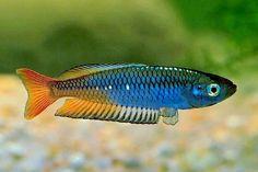 Beatiful of Tropical Australian Rainbow Fish [Look Now! Tropical Freshwater Fish, Tropical Fish Aquarium, Tropical Fish Tanks, Freshwater Aquarium Fish, Australian Rainbow Fish, Aquariums, Tetra Fish, Fish Fish, Salt Water Fish