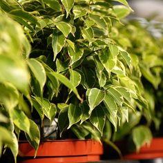 11 zimmerpflanzen f r dunkle ecken winter pflanzen und zimmerpflanzen. Black Bedroom Furniture Sets. Home Design Ideas