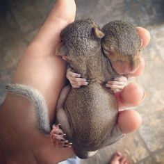 #baby #babies #brothers #babyanimals #babysquirrel #squirrel #squirrels #squirrelbabies #nature #wildlife #rescuebabies